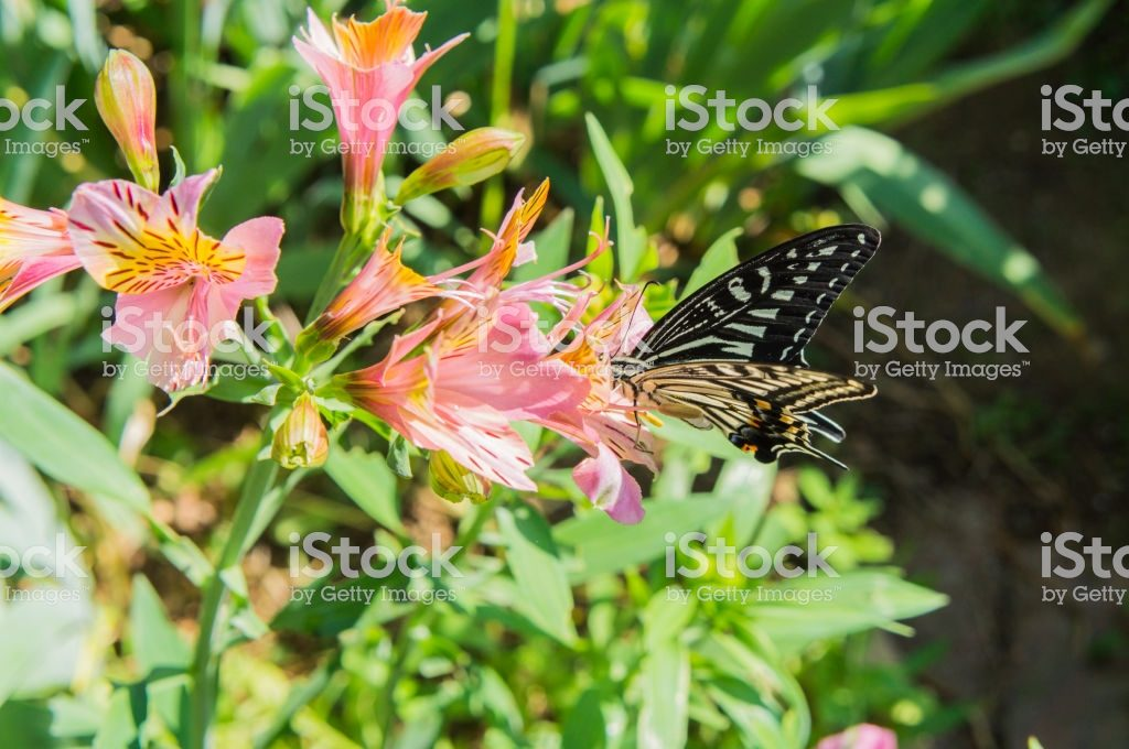 Swallowtail butterfly and Alstroemeria3