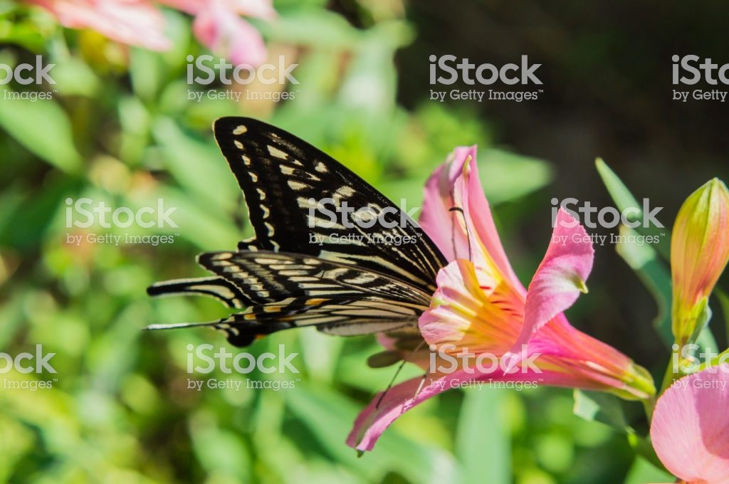 Swallowtail butterfly and Alstroemeria2