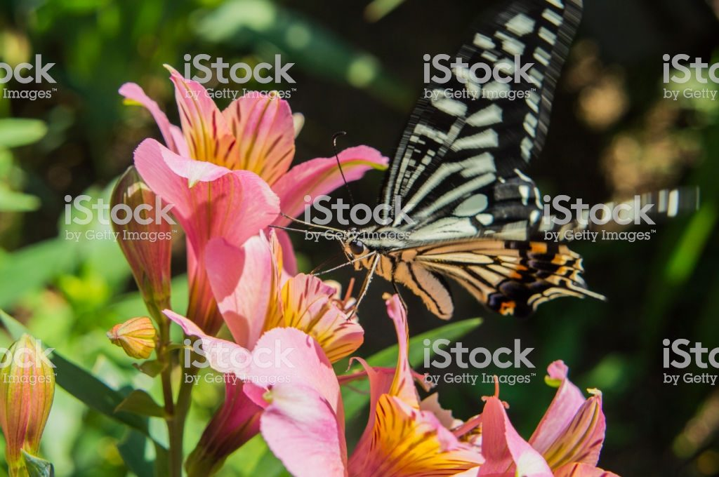 Swallowtail butterfly and Alstroemeria1