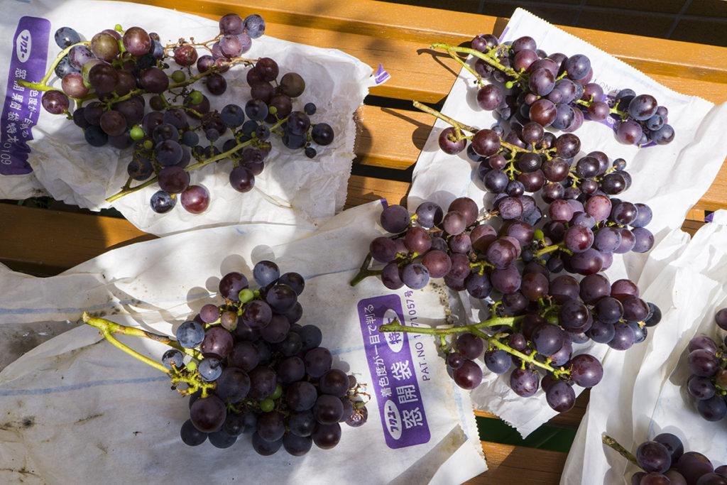 収穫したブドウ2